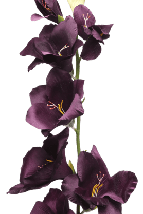 Gladiolus Spray Plum